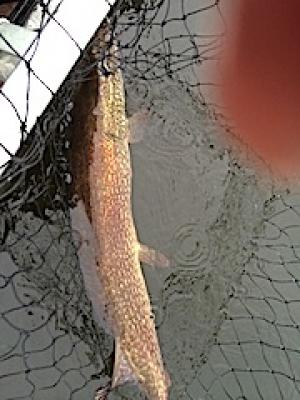 Trophy Northern Pike in Big Net Fishing at Fireside Lodge in Canada