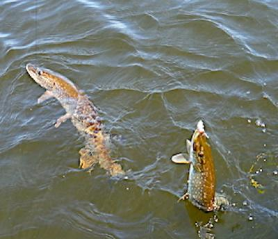 Doubles Northern Pike Fly Fishing at Fireside Lodge in Canada