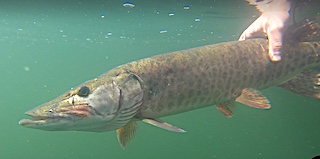 Muskie Release Fishing at Fireside Lodge in Ontario Canada by Tom