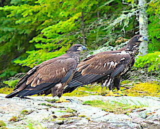 Two Immature Young of The year Bald Eagles Learning The Ropes of Flying and Searching for Food on Little Vermilion Lake in Ontario Canada