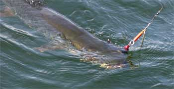 Big Muskie are a thrill to catch in Canada