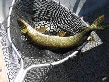 many large northern pike are caught a canada lodges