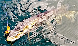 Great Picture of BIG Northern Pike being caught Fishing at Fireside Lodge by Keith Dedrick