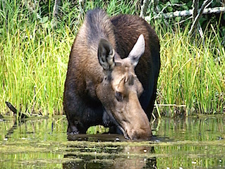 Fabulous Moose Picture Taken by George Marshall While Fishing at Fireside Lodge